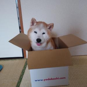 箱に柴犬さん