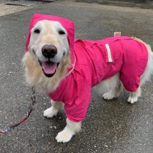 ピンク色のゴールデンレトリバーの登場♪