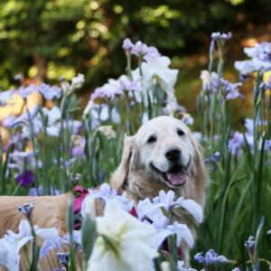 紫陽花と花菖蒲の季節
