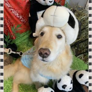 パンダになったゴールデンレトリバー