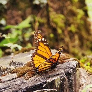 オオカバマダラ生物圏保護区