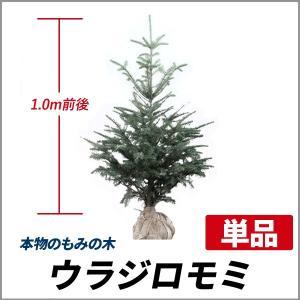クリスマスツリーにおすすめのドイツトウヒやウラジロモミ、好評販売中です♪