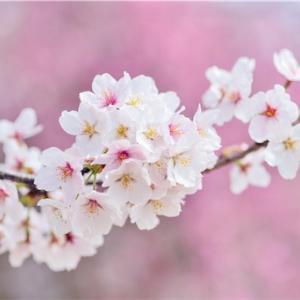 【厳選】あなたの春を彩る!春におすすめの小説ベスト5!☆新生活、新社会人、青春、恋愛☆