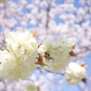 【2020年桜】今年は遠出をせず近所の桜を堪能