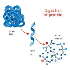 蛋白質:命の建築ブロック
