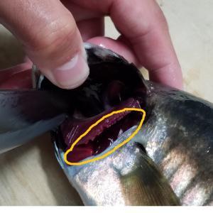 魚の血抜きのやり方!ナイフ一本で簡単!