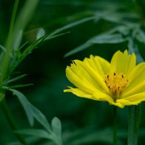 キバナコスモス(Lemon bright)9月に咲く爽やかなレモンイエローの花