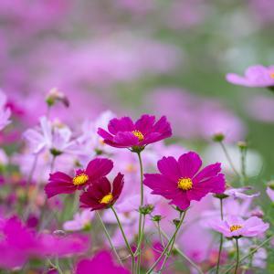 コスモス(cosmos)10月に咲く儚げな花