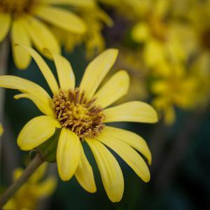 ツワブキ(Leopard plant)11月12月に咲くキク科の黄色い花