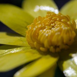 ヒメリュウキンカ(フラワーパーク江南)1月に咲く光沢のある黄色い花弁の花