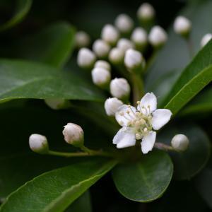 ピラカンサス(Firethorn)4月から5月に小さな白い花を沢山咲かせる