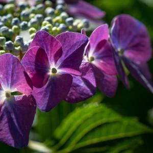 アジサイ(hydrangea)6月に咲くガクが美しい紫陽花