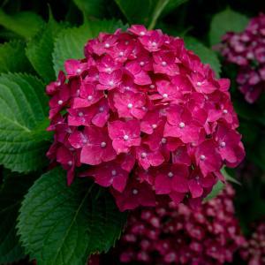 赤い紫陽花(一宮市)