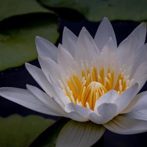 睡蓮 Water lily(フラワーパーク江南)
