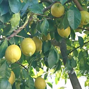 レモン果汁の保存方法&ヘアオイル