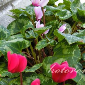 開花!真夏のガーデンシクラメン