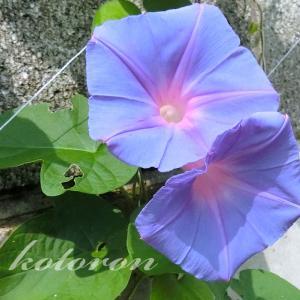 「琉球朝顔」朝と夕で色が変わる
