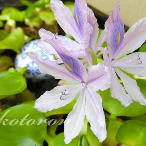 ついに、ホテイアオイ開花!その時の環境は…