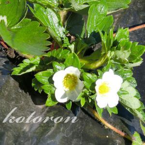 秋なのに苺(とちおとめ)の花が咲きました&鳥対策