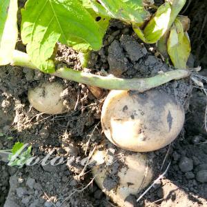秋ジャガイモの初収穫(ニシユタカ)