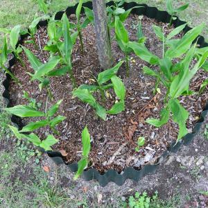 移植したミョウガが元気に芽を出しました