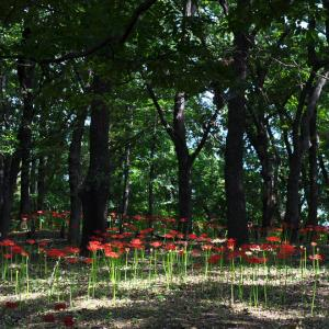 自然の森に群生する彼岸花 --- 群馬県 伊勢崎市 境御嶽山自然の森公園 ---