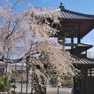 西光寺の鐘楼門と枝垂れ桜 --- 埼玉県小川町 西光寺 ---
