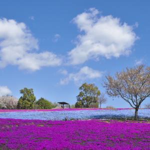 サクラと芝桜とネモフィラが咲く公園 --- 群馬県太田市 八王子山公園(太田市北部運動公園)---