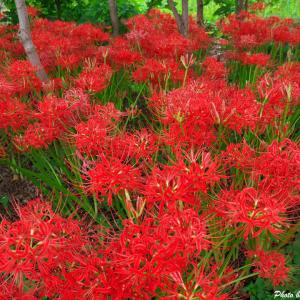 八潮に咲く彼岸花に会いに行こう --- 埼玉県八潮市 中川やしおフラワーパーク ---