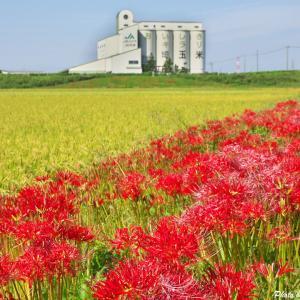 深谷 上敷免の彼岸花 2020 --- 埼玉県 深谷市 ---
