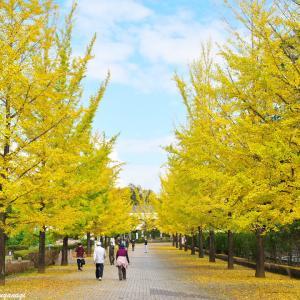 秋晴れの中、黄金色のイチョウ並木を歩く --- 秩父ミューズパーク ---