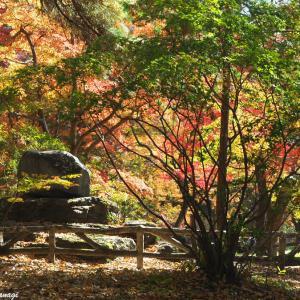 月の石もみじ公園、紅葉せり --- 埼玉県長瀞町 月の石もみじ公園 ---