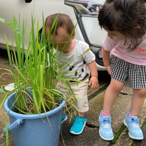 日々成長『おうちで食育』バケツ稲作