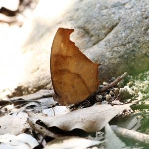 【写真】クロコノマチョウ、ヤマトシジミ、ベニシジミ