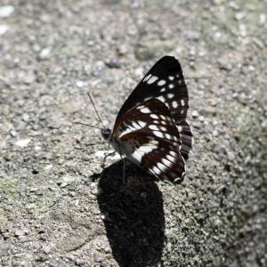 【写真】ホシミスジ、ルリタテハ(蝶)