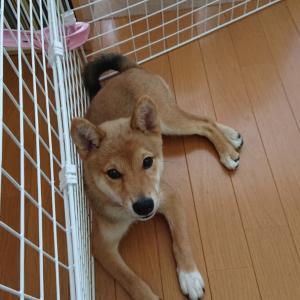 柴犬 むぎ 3ヶ月《トイレトレーニング うんちの失敗》