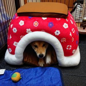 柴犬むぎ 生後4ヶ月《こたつベッド》