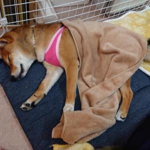 柴犬むぎ 生後6ヶ月《避妊手術 退院②》