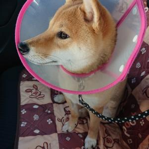 柴犬むぎ 生後6ヶ月《避妊手術 5日目》
