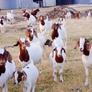 ヤギとアヒルが機能しない時期、私は毎日草むりし1時間生活・・・