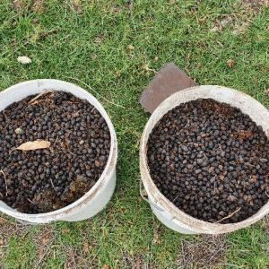 【無農薬栽培】実験!キクユ芝の草抜きが面倒臭すぎるので、アルパカとヤギの糞で地面を覆ってみたら・・・