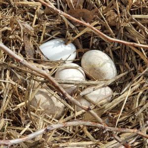 我が家のガチョウの産卵と抱卵の記録    その❷~ガチョウ1号の産卵と抱卵~