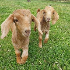 【子ヤギ】孤児ヤギをペットヤギに!~ボィボィとガルガルの誕生秘話~