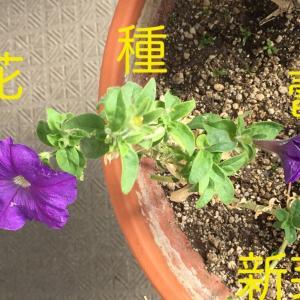 ペチュニア 花、種、蕾、新芽