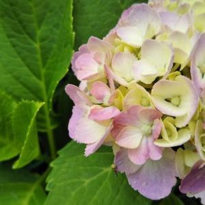 色付く前の紫陽花もきれい