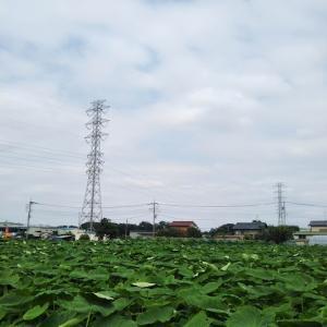 サトイモ畑の風景