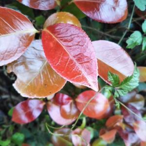 藪椿の新芽