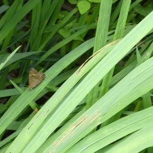 庭にヒカゲチョウ
