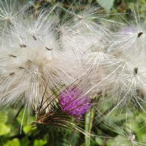 あざみの花と綿毛