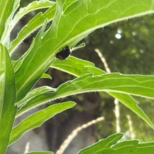 雑草の葉の裏にテントウムシ